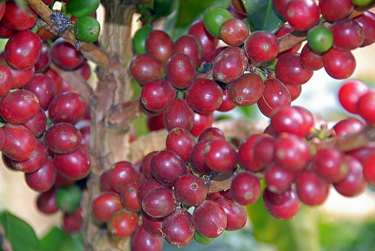 Red Caturra coffee cherries.