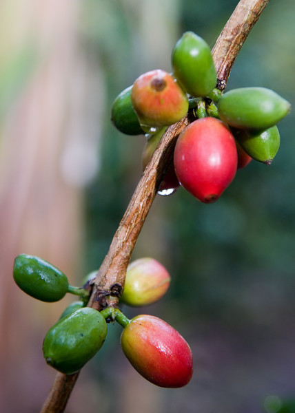 The giant coffee cherries of Maragogypes.