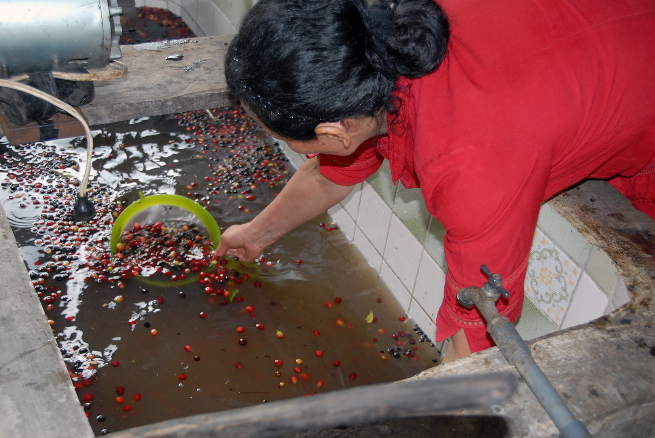 The floaters are scooped up and separated from the better quality coffee cherries.