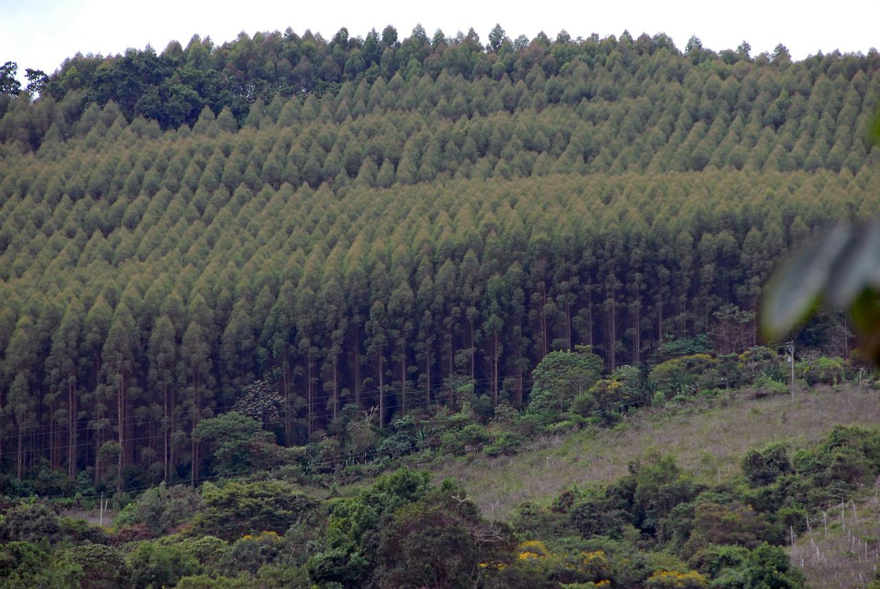 A eucalyptus farm on the ridge opposite Los Sauces.