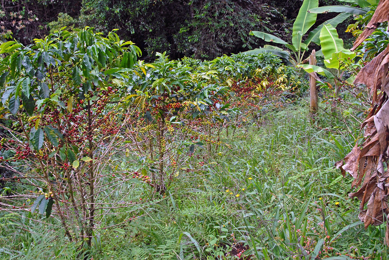 Some of the trees at Los Sauces are not shade protected and the contrast is stark.  The plants have not received enough nutrition and many green cherries will pass directly to over-ripe.  Coffee trees, no matter how stressed, will not drop their fruit, even if that involves losing substantial portions of itheir branches and root systems.
