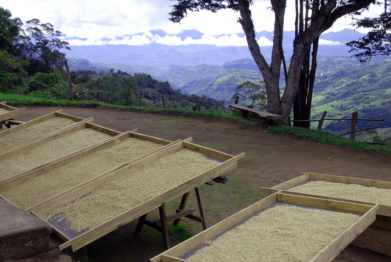 Coffee in parchment drying on racks on an earlier visit to Maria Santos in 2007.