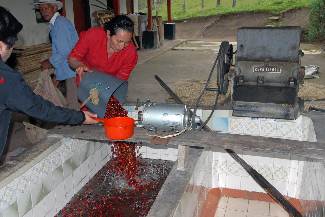 One of Maria's daughers is pouring the coffee cherries into a tank of water to separate lower density floaters.