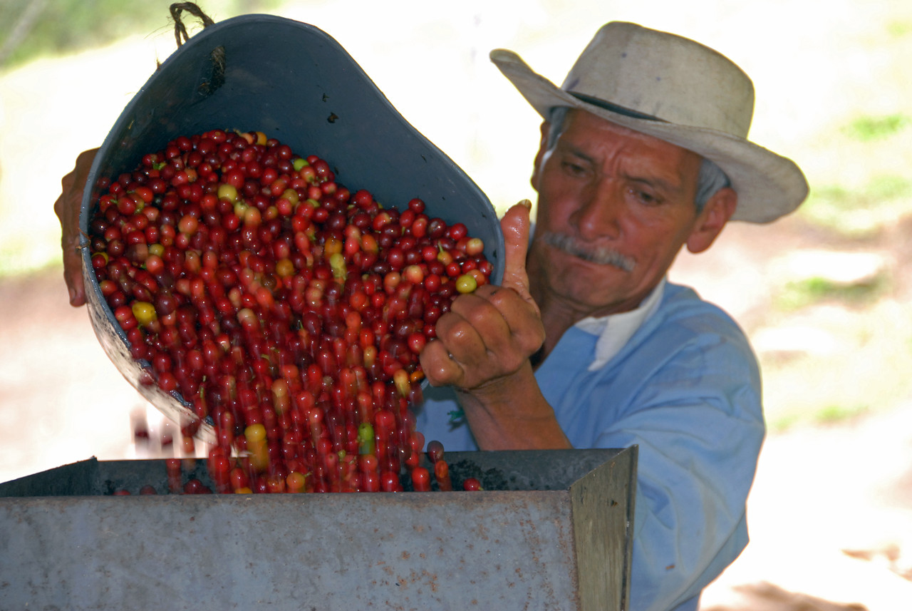 Maria's sole employee pours the mostly red-ripe cherries into the depulper.