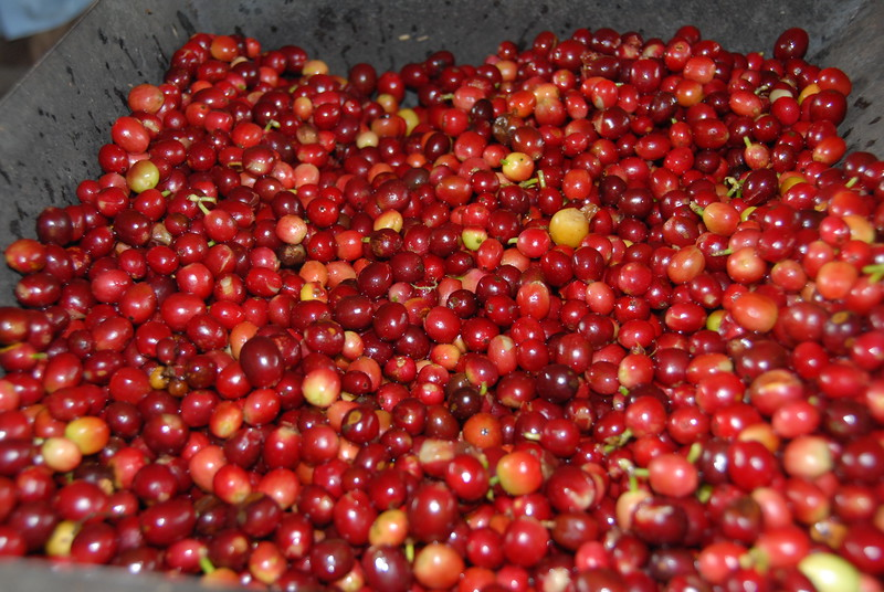 Cherries about to be de-pulped - their outer skins will be removed.