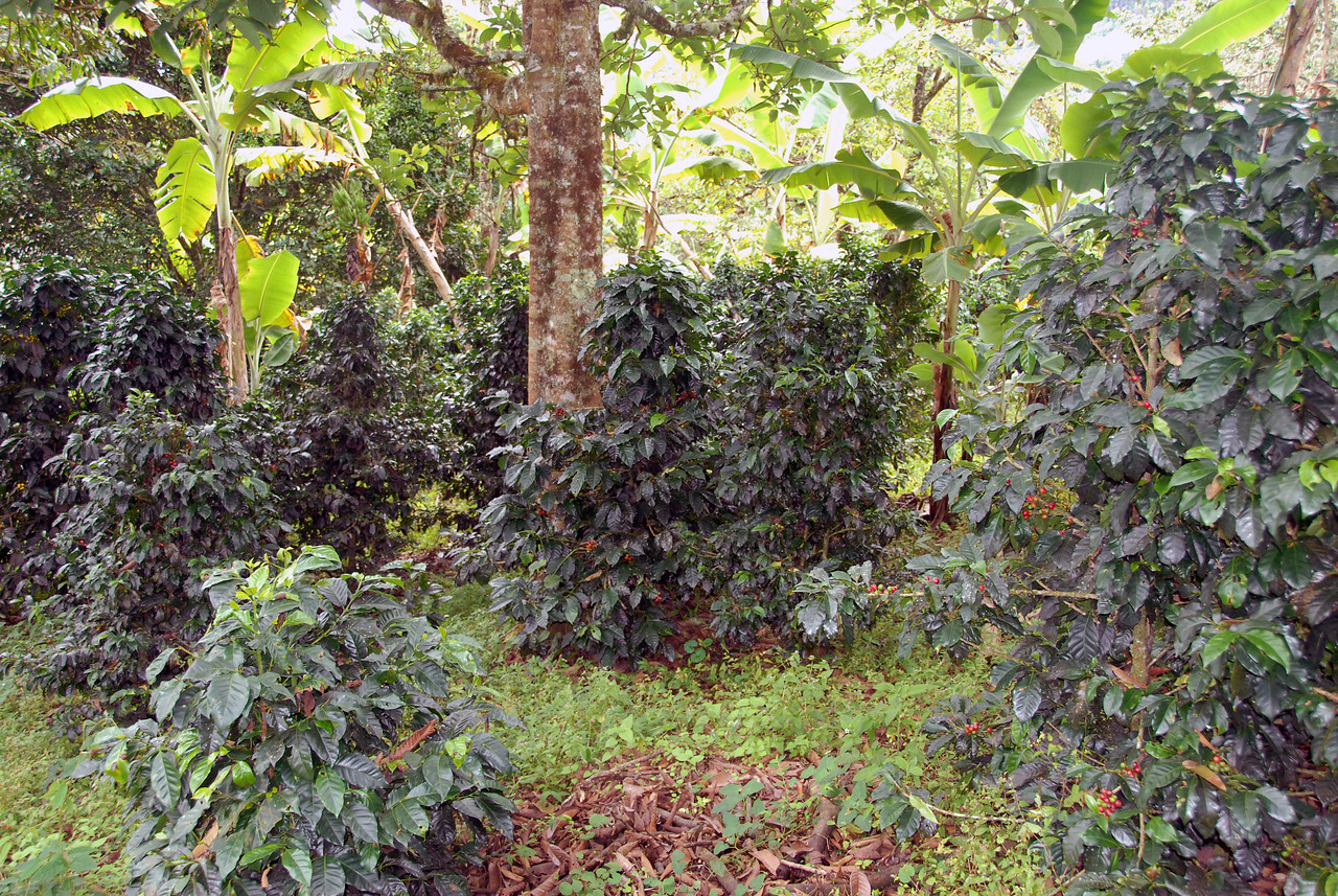 Caturra coffee trees growing in the partial shade.  The trees look happy and bear evenly ripening cherries.