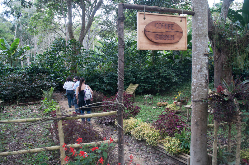 El Roble's coffee garden displaying many species of the Coffea genus, including Canephora, Liberica, Euginoides and the many varieties of Arabica.