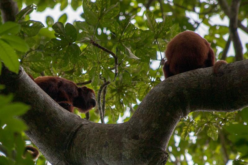 howler monkeys along the trail in Parque nacinal natural Tayrona