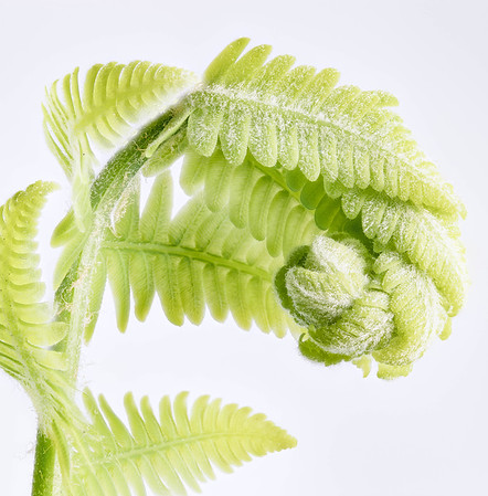 Ostrich Fern, Stretching