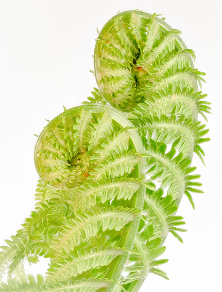 Two Ostrich Ferns in Profile