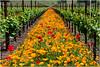 Poppies in Vineyard, Sonoma Valley