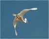 Nesting Egret #2