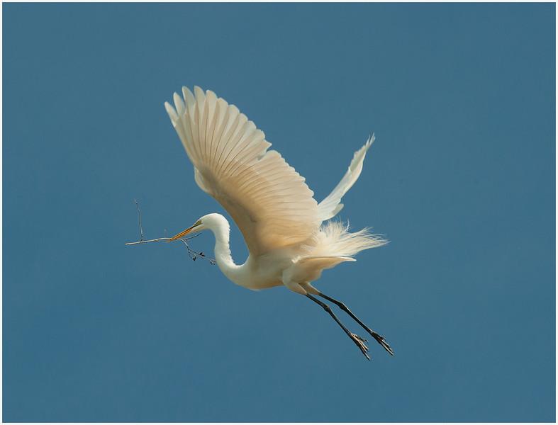 Nesting Egret #1