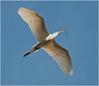 Nesting Egret #3