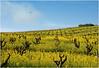 Mustard in Old Vines, Dry Creek