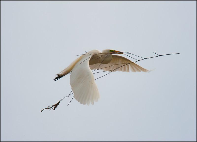 Nesting Egret #5