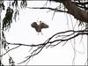 Nesting Egret #4