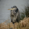 Brrrr...a very cold Blue Heron