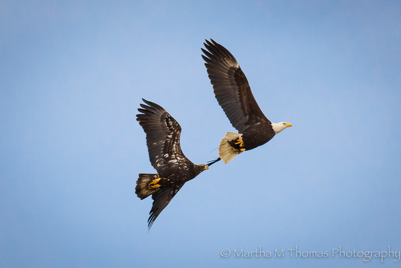 Juvenile pursuing Parent Bald Eagle.  Looks like the parent has food in its claw
