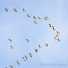 Snow Geese V