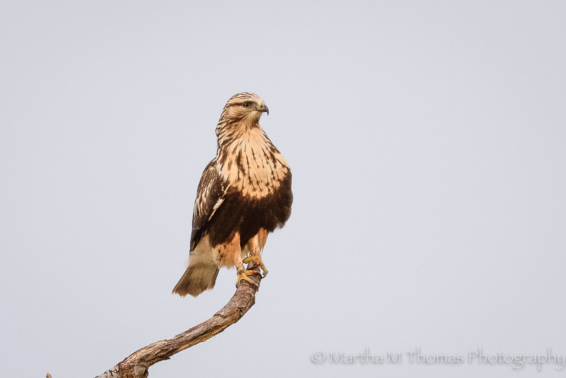 Rough Legged Hawk in the morning