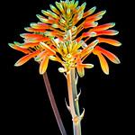 Coral Aloe