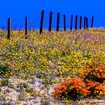 Gorman Hills in Bloom 2