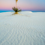 Early Morning Yucca