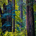 Blue Redwoods