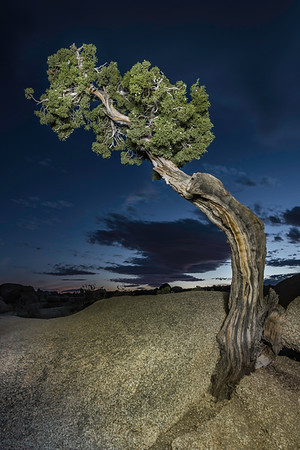 Lone Juniper - Joshua Tree National Park