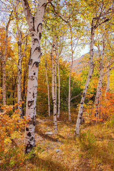 Birch Trees and Mountain View