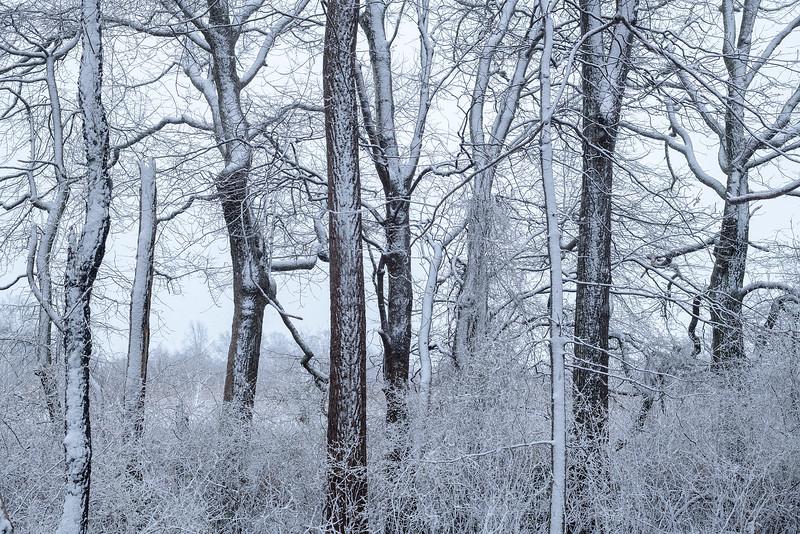 Tree Wall In Winter