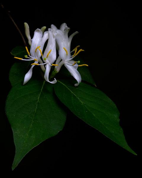 Heneysuckle Blossoms
