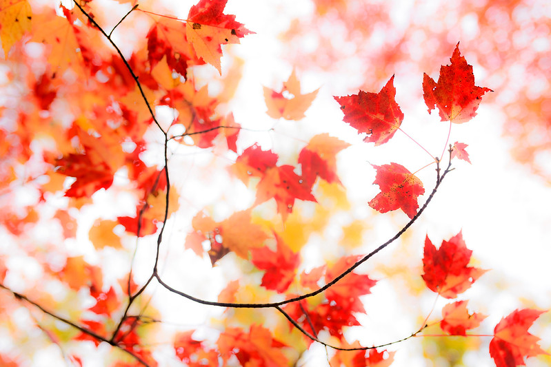 Backlit Maple Leaves