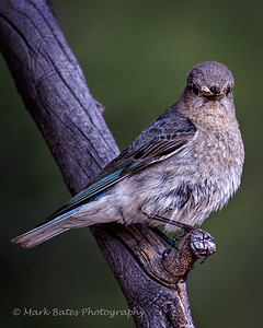 Female Bluebird With Dinner