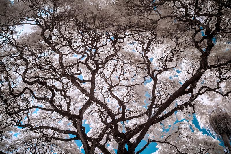 Fractal Tree, Maui, HI, 2012.