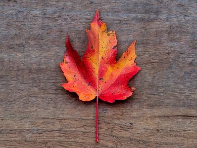 Single Fall Maple Leaf