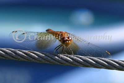 Dragonfly- Photo by Sue Ellen Into