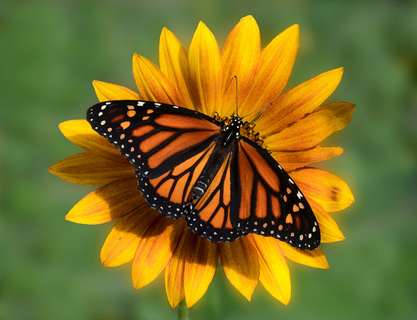 Monarch and Sunflower 2