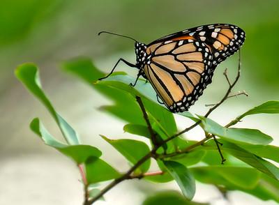 Monarch on Crepe Myrtle