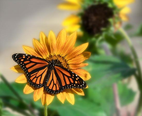 Monarch on Sunflower