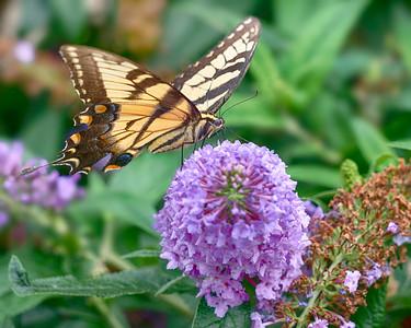 Yellow Tiger Swallowtail 2