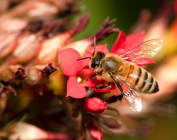 Honey Bee on Flower 7