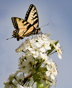 Tiger Swallowtail on Bradford 1