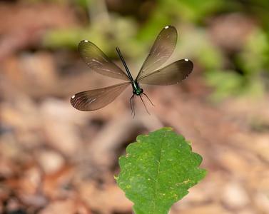 Ebony Jewelwing Landing