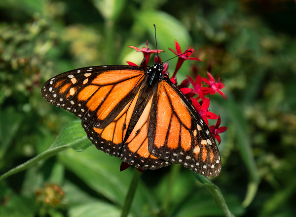 Monarch on Red Flower