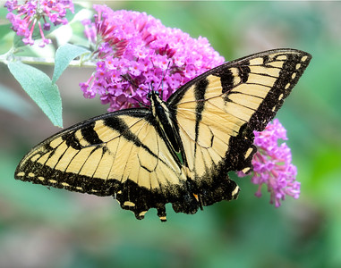 Tigerswallowtail Purple flower