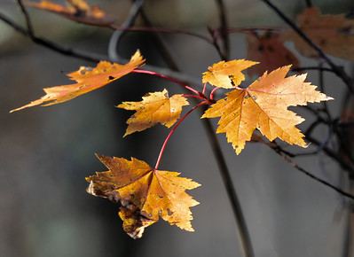 Late Autumn Maple Leaf Grouping