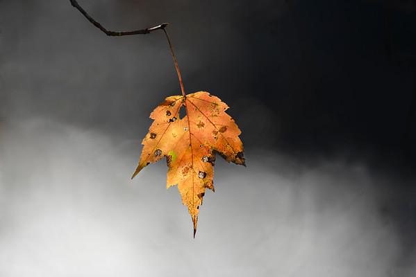 Late Autumn Single Maple Leaf