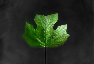 Poplar Leaf